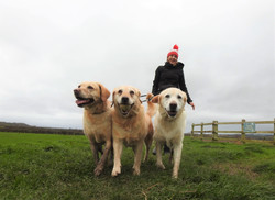 3 Golden Labradors walking on the Somerset Levels