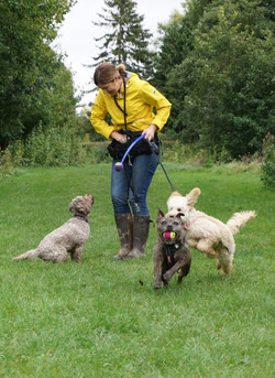 Professional dog walker playing with her dogs in Longrun Meadow, Taunton.