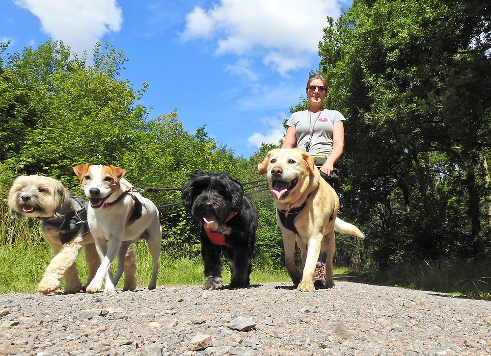 Professional dog walker in Taunton on a group dog walk
