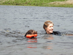 Sprocker spaniel swimming in the River Tone in Taunton with his dog walker from Le