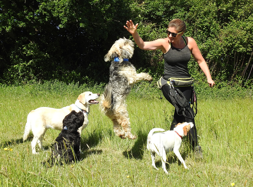 Group dog walking in Taunton with a Tibetan Terrier jumping up at the dog walker