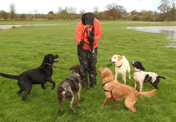 Group dog walking on the Somerset Levels