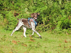 Lets Walk Dogs - Taunton dog walker with a German Shorthaired Pointer