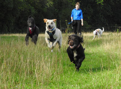Dog walker throwing a ball for her 3 dogs in Monkton Heathfield, Taunton