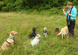 Group dog walking with Lets Walk dogs from Taunton in Somerset