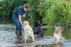 Dog walker playing with Labradors in the river Tone in Taunton