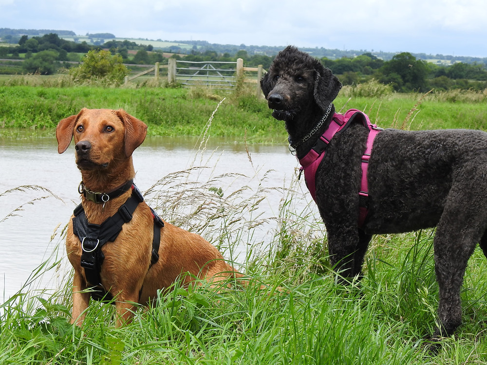 Dog walker with a Labrador and Labradoodle by the River Tone in Taunton