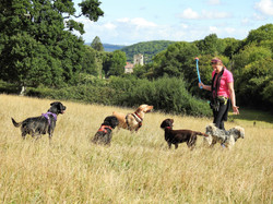 Dog walker playing with dogs in a field