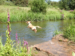 Labradoodle jumping into the river Tone in Taunton