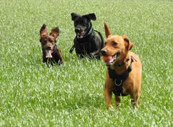 Sprocker Spanial and Labradors with their dog walker in Creech Saint Michael, Taunton