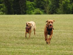 Lets Walk Dogs - Taunton dog walker 112.