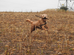 Lets Walk Dogs - Taunton dog walker 127.