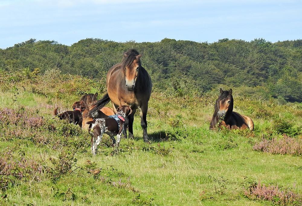 Dog walking with wild horses on the Quantocks near Taunton
