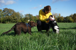 Dog walking in Taunton with a Sprocker and a King Charles Spaniel