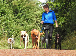 Group dog walking at Staple Hill in Taunton with a professional Dog Walker