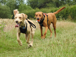Lets Walk Dogs - Taunton dog walker 77
