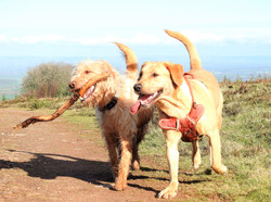 Group dog walking in Taunton with Lets walk dogs.