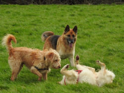 Puppy socialisation with a dog walker in Taunton