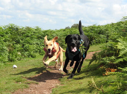 Two dogs chasing each other on the Quantocks on their doggy adventure day