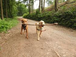 Lets Walk Dogs - Taunton dog walker 114.