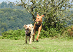 Dogs playing on the Quantocks at Bishops Lydeyard Hill