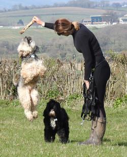 Tibetan Terrier jumping on a dog walk in Taunton
