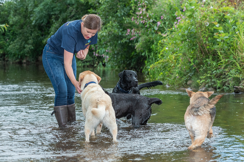 Dog walker in Taunton Somerset, playing with 4 dags in a river.