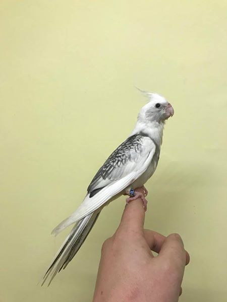 Hand reared whiteface pearl pied