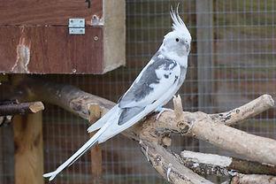 Male Whiteface Cockatiel