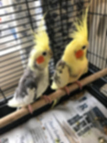 Breeding Pair of Cockatiels