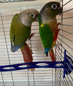 Breeding pair of Green Cheek Conures
