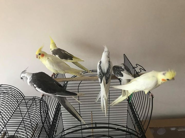 Hand reared baby cockatiels