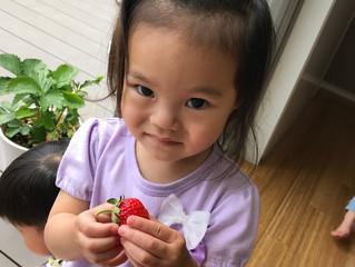 ベランダのイチゴ大収穫!