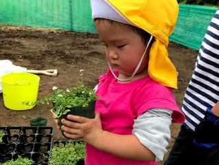園庭作りのお手伝い、クラピアを植えました