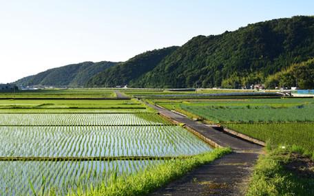 organic rice feeld