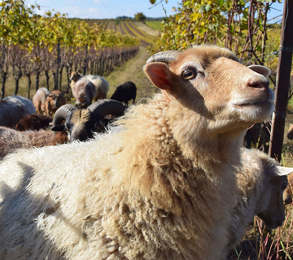 organic, vinyard, sheep