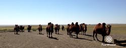 Тэмээ Camels