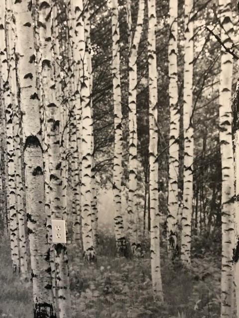 Birch forest wall.jpg