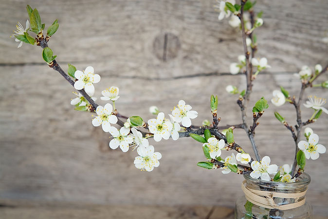 cherry-blossoms-1389792_1920.jpg