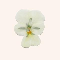 【食べるおしばな】ビオラ・ホワイト