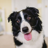 Piper the Australian Shepherd smiles for the camera at her home in Jacksonville, Florida.