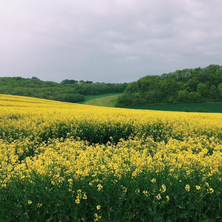 champs de colza en Lot et Garonne