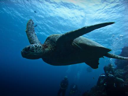 Skildpadde, Sipadan