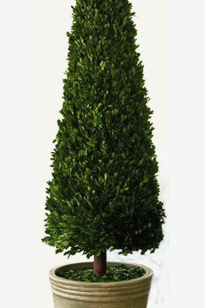 "Preserved Boxwood Topiary Cone - 43"" or 59"""