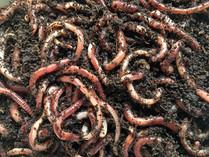Des pesticides dans les vers de terre