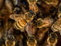 Les abeilles, de nouveau, en danger