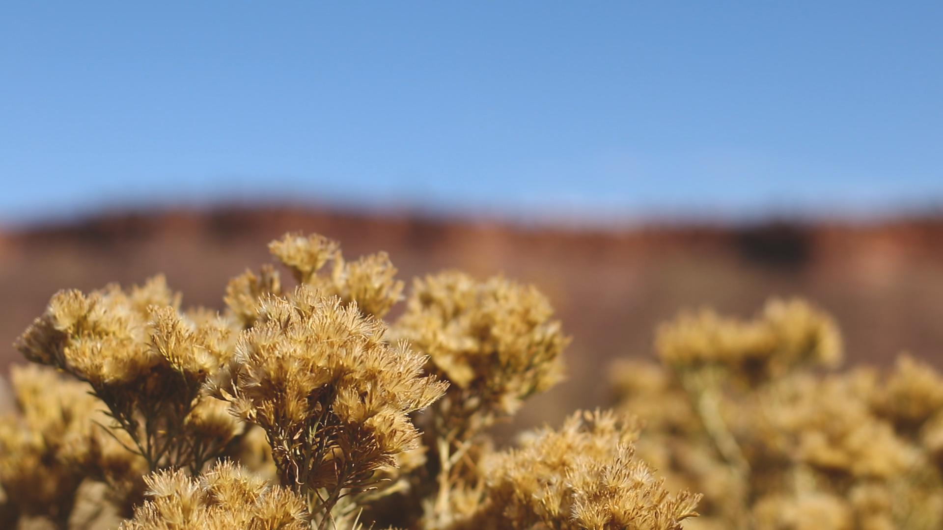 Desert Yellow Blooms.png