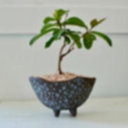 Bonsai 7.jpg