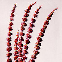 red sorghum in a vase