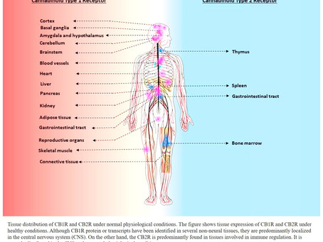 The Endocannabinoid System (ECS) Explained